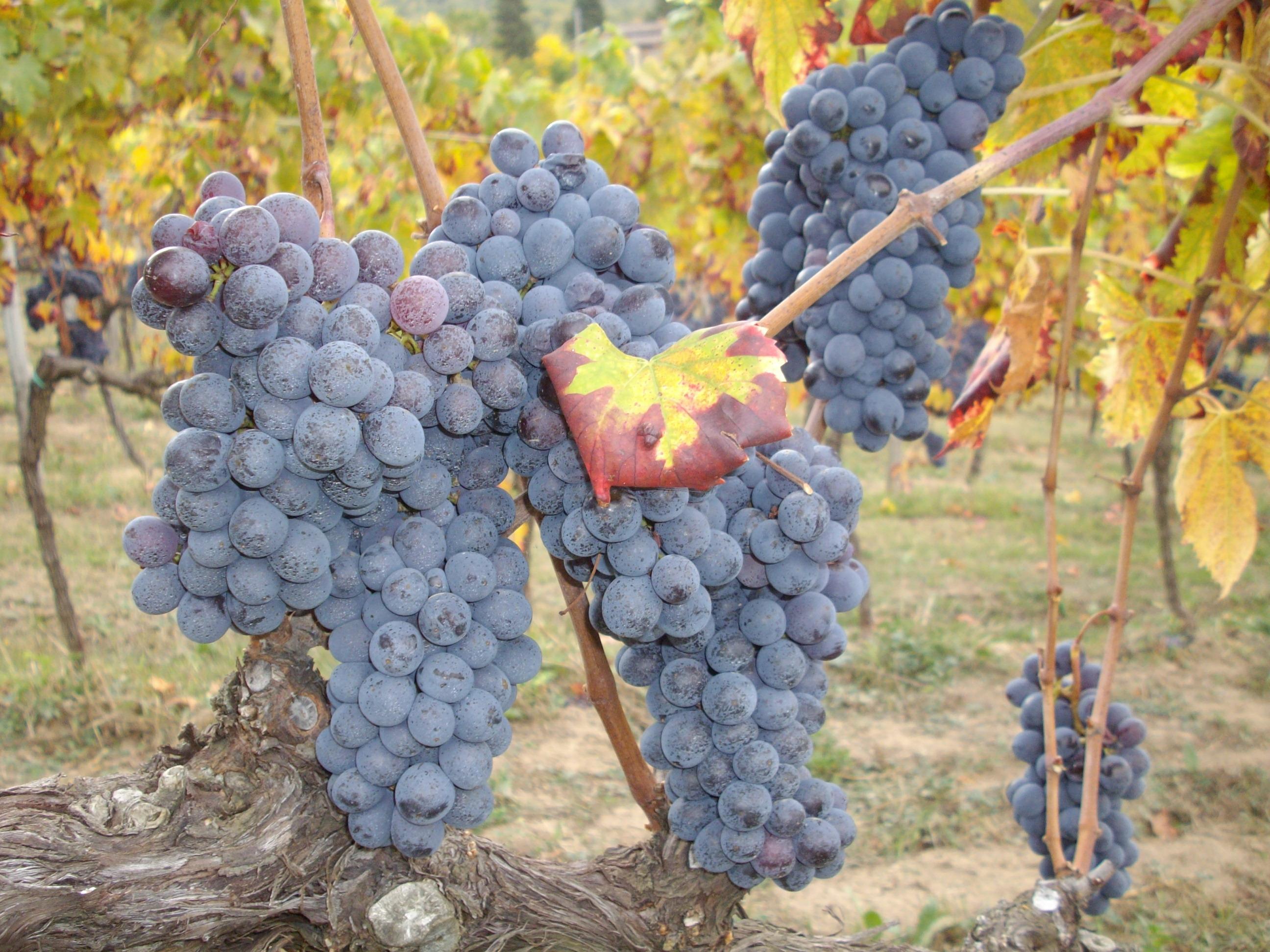 Grappoli uva sangiovese IMGP2706